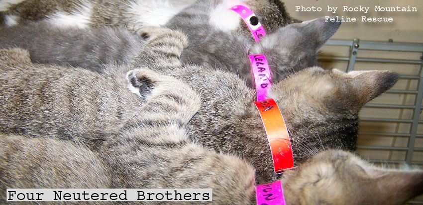 Four neutered brother cats