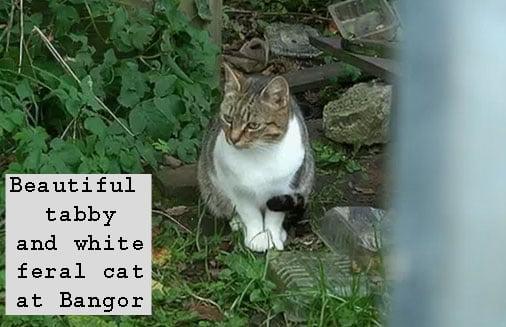Bangor feral cat