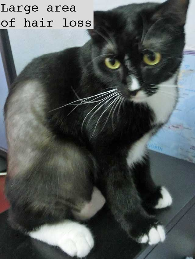 Cat with a large area of hair loss that could be due to hyperthyroidism