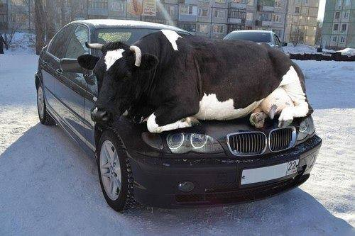 Cows keep warm by resting on the car hood while cats go inside the engine compartment