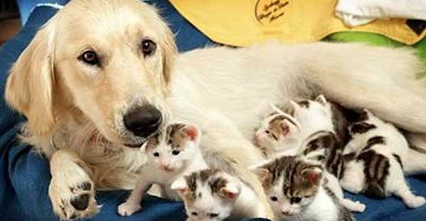 Golden Retriever raises kittens