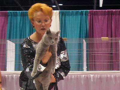 Chartreux at a cat show