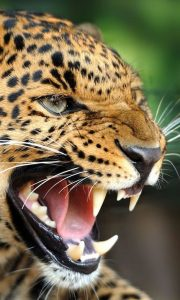 Leopard vocalisations