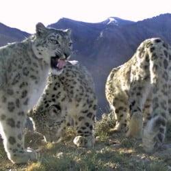 Snow leopard Flehmen response