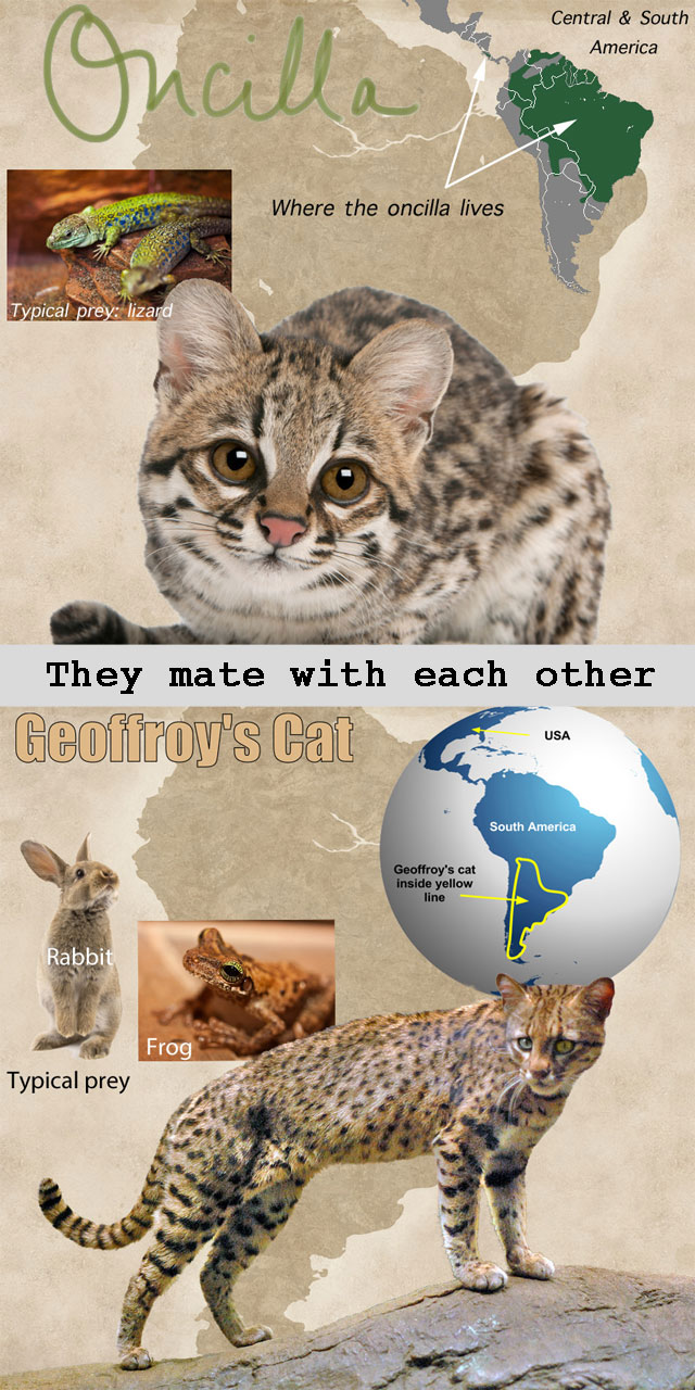 Tigrina mates with geoffroys cat