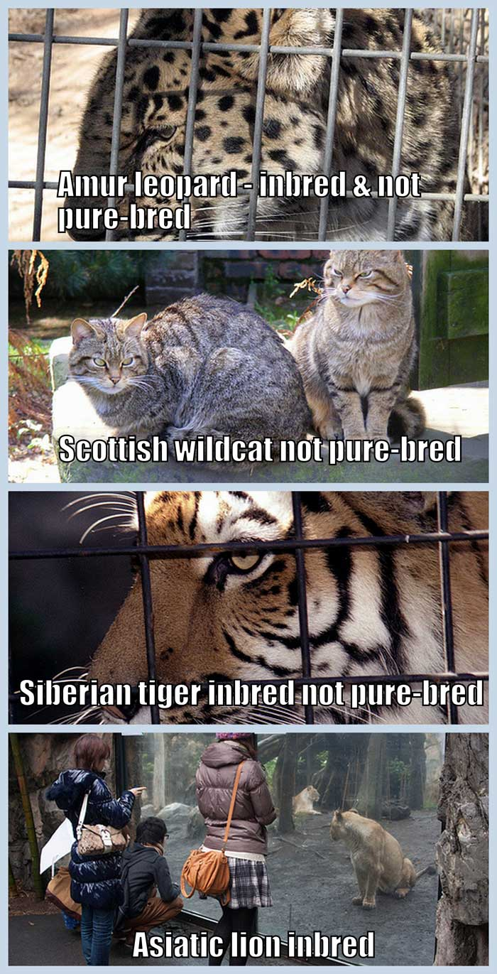 Zoo cats are inbred and not pure-bred
