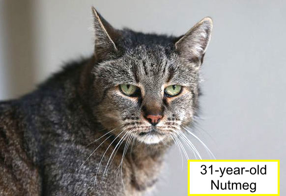 31-year-old-cat Nutmeg