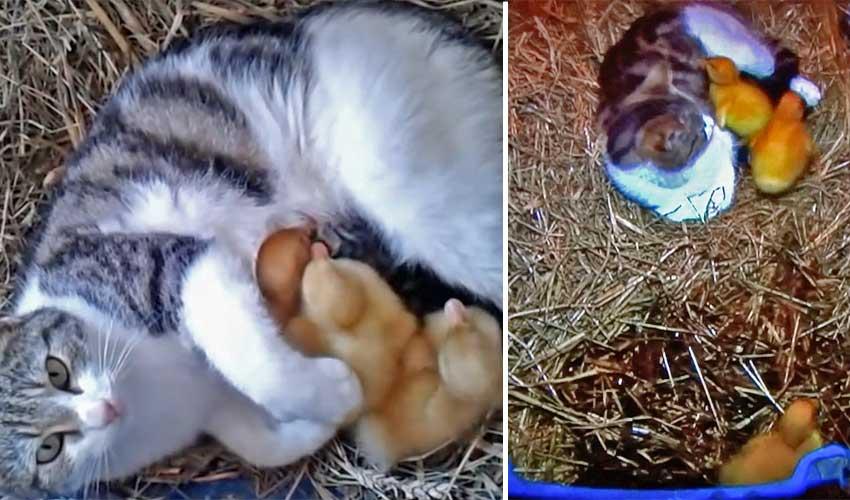 Cat parenting ducks