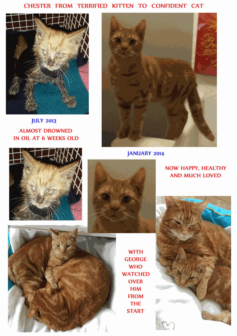Chester a rescue cat and adopted by a Cats Protection volunteer
