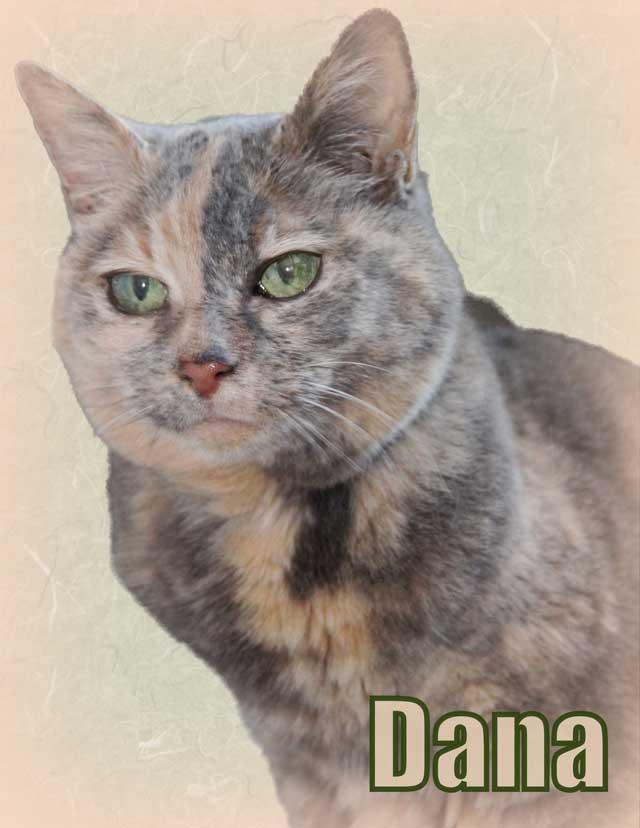 Dilute tortoiseshell cat Dana