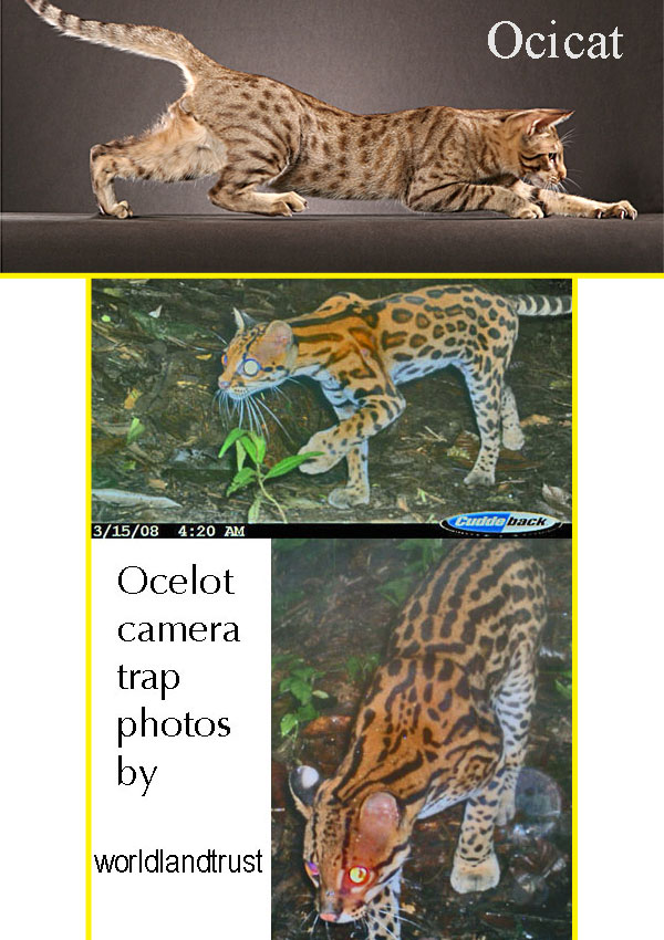 Ocelot domestic cat