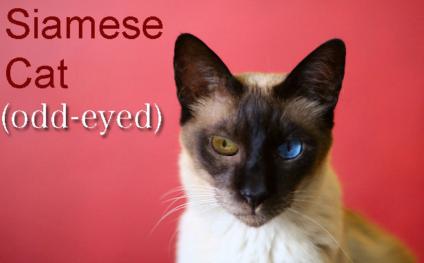 Odd-eyed Siamese cat