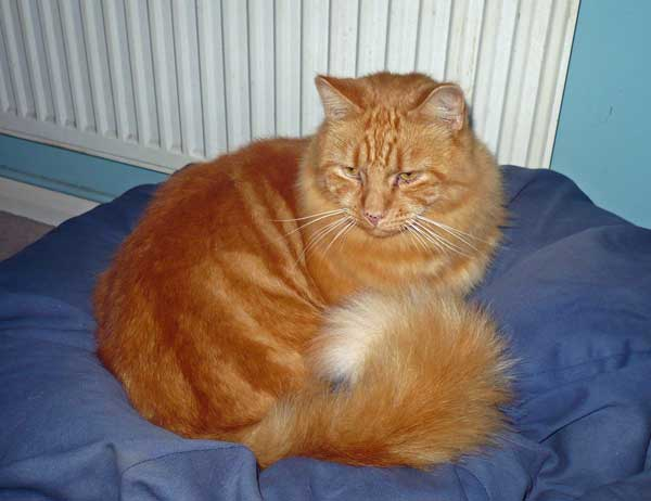 Red tabby Siberian cat