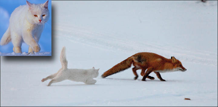 Siberian cat chases fox