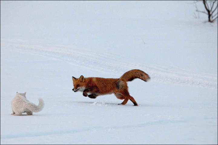 siberian cat plays with fox