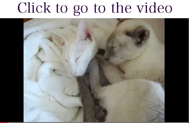 video still of two Oriental Shorthair cats