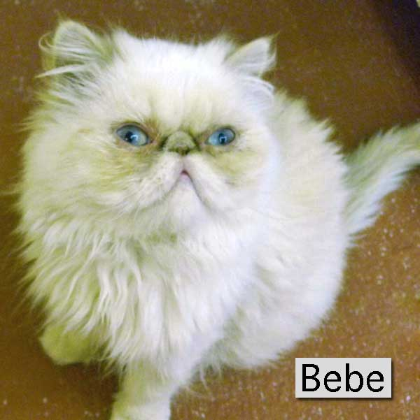 Bebe a Siamese Persian mix