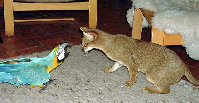 Chausie with Macaw
