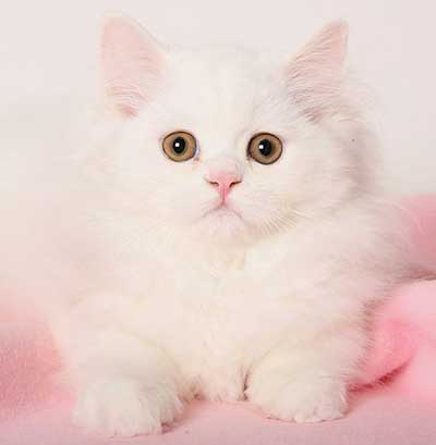 Desirable kitty - a spayed white traditional Persian. Photo copyright Dani