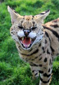 serval cat hissing in a cage