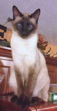 Siamese cat with slight squint