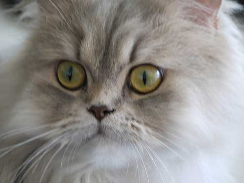 Traditional Persian Cat