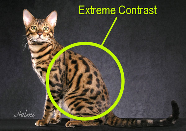 Bengal cat with a high contrast coat pattern. How to select a proper Bengal cat.