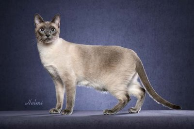 "Thai cat ""Tavi"""