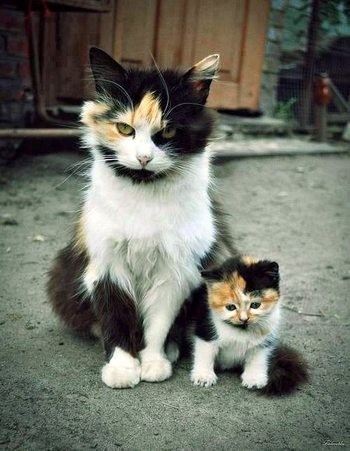 a chip of the block - mother and kitten - calico cats