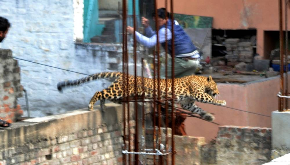 Leopard forced to live amongst humans.