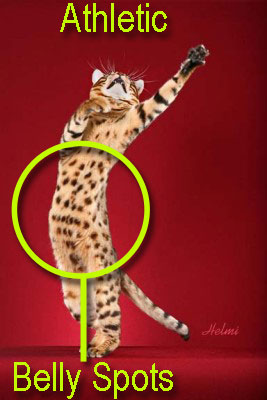 Bengal cat belly spots. How to select a proper Bengal cat.