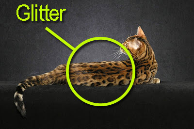 Bengal cat glitter on the coat. How to select a proper Bengal cat.