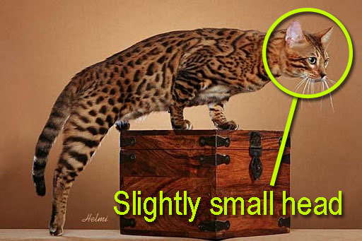 Bengal cat with a small head. How to select a proper Bengal cat.