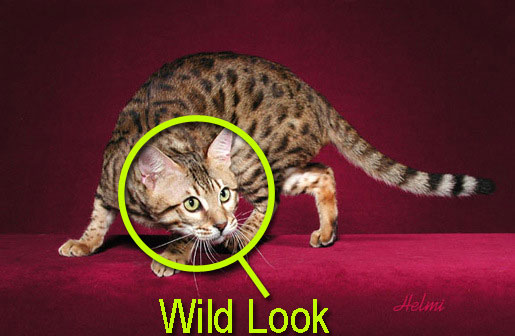 Bengal cat wild look. How to select a proper Bengal cat.