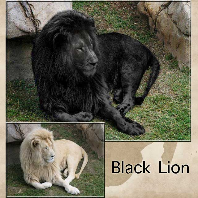 Black Lion Photo
