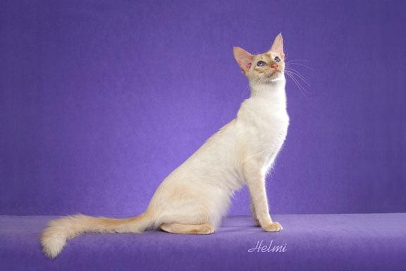"""Javanese cat """"Blush"""""""