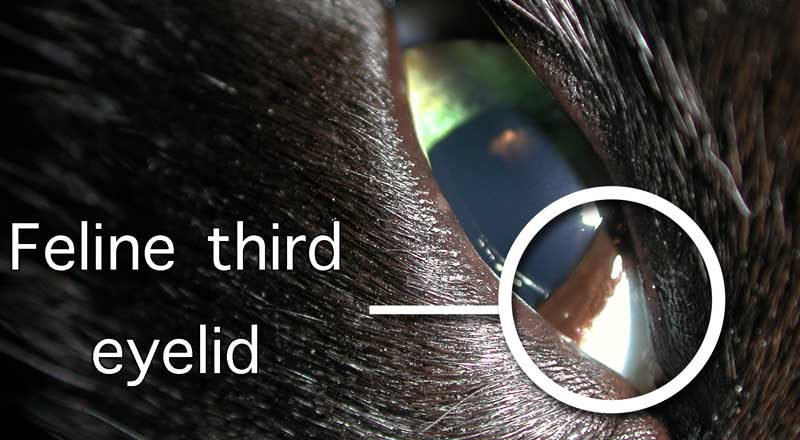 A cat's third eyelid or nictitating membrane