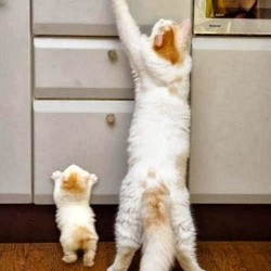 Kitten copies mother in reaching up to kitchen counter