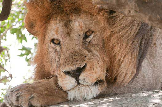 Copenhagen Zoo Kills Four Lions: Was this Slaughter Necessary?