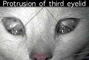 Protruding feline third eyelid