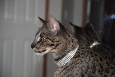 Male Savannah cat one year of age
