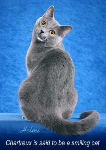 Smiling cat, a Chartreux
