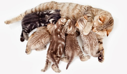 tapestry of tabby cat coats - kittens feed at mothers breast