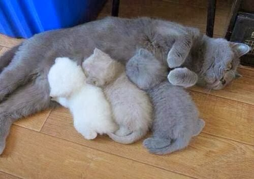 three british shorthair kittens suckle their mothers breast