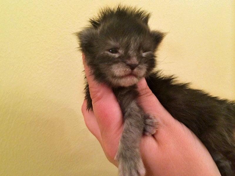 BEN a Lithuanian Maine Coon kitten