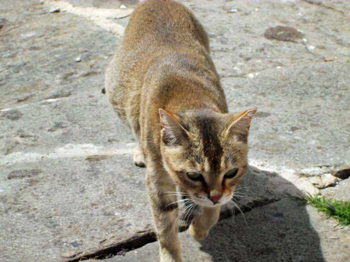 Bhutan Abyssinian Cat