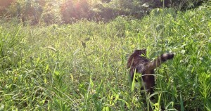 cat enjoying himself outside in long grass