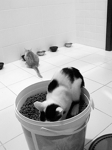 Calorific restriction in a cat diet is good for cat health
