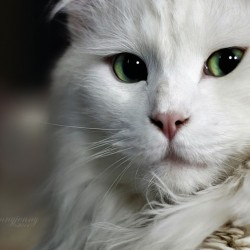 Mikey a deaf white cat