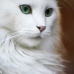 Mikey a deaf white cat of real beauty